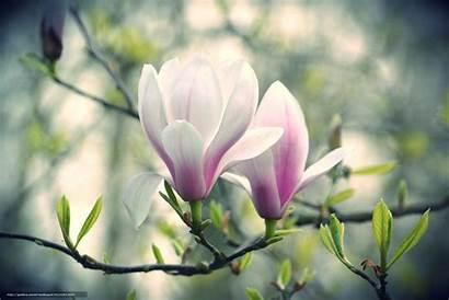 Magnolia Flowers Desktop Pink Wallpapers Backgrounds Branch