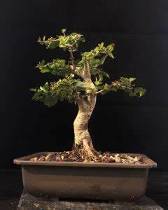Bonsai Pflege Für Anfänger : ligustrum vulgare bonsai liguster kaufen i pflegen i schneiden ~ Frokenaadalensverden.com Haus und Dekorationen