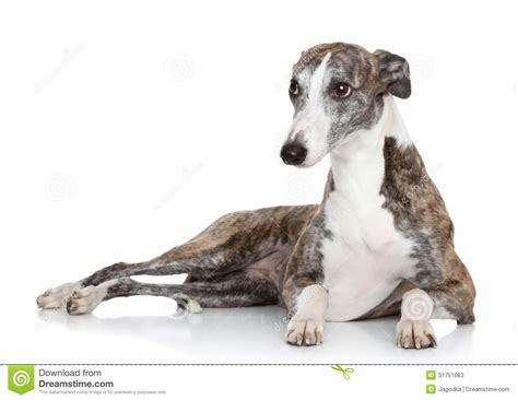 whippet lying  front  white background stock image