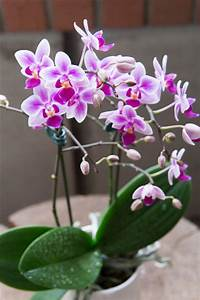Useful Tips For Care And Maintenance Of Phalaenopsis Orchids