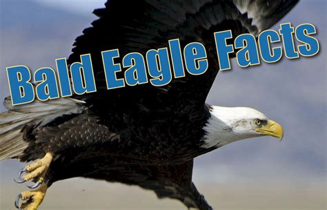 bald eagle facts  kids information pictures