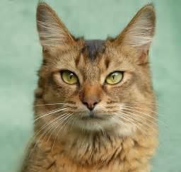somali cats top cat breeds somali cat breeders