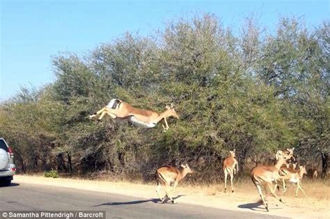 African Impala Jumping  Wwwpixsharkcom Images