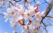 台灣的櫻花種類   台北婚佈 ARLIS FLOWER - 婚禮佈置   婚佈價格   婚佈推薦