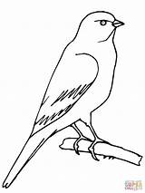 Canary Coloring Perched Supercoloring Pages Printable Version sketch template