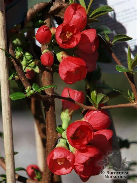 chaenomeles speciosa rubra  burncoose nurseries