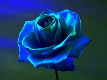Rose Flowers Wallpapers Blu Desktop Rosa Gratis