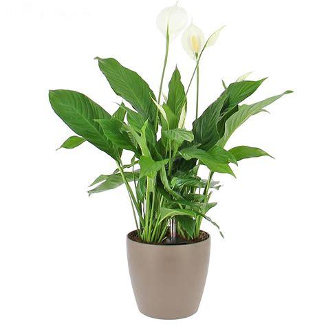 plantes de bureau livraison spathiphyllum en bac à réserve d 39 eau la plante