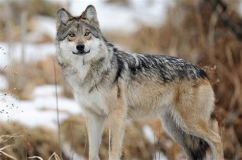 mexican gray wolves   saved   saloncom