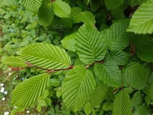Hainbuche Baum Schneiden : laubbaum repr sentative arten im berblick ~ Watch28wear.com Haus und Dekorationen