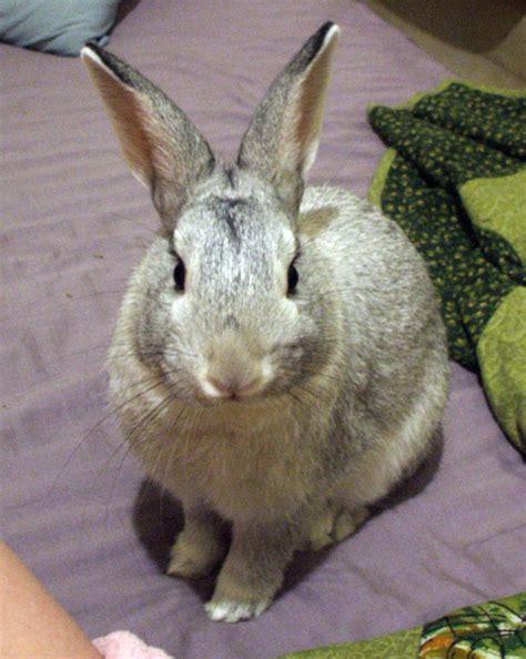 cuisiner un lapin de garenne lapin chinchilla wikipédia