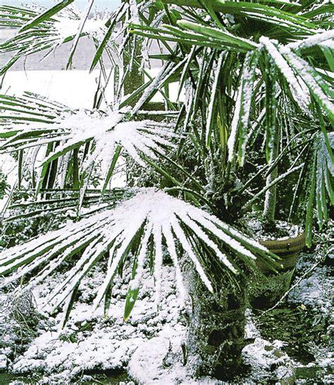 winterharte kuebel palmen sonderartikel bei baldur garten