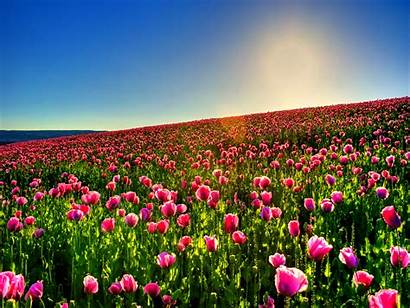 Tulip Field Tulips Backgrounds Fall Flower Background