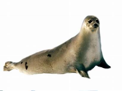 Transparent Seal Sea Background Clipart Walrus Harbor