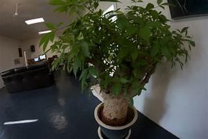Arbre En Pot : culture du baobab baobab ~ Premium-room.com Idées de Décoration