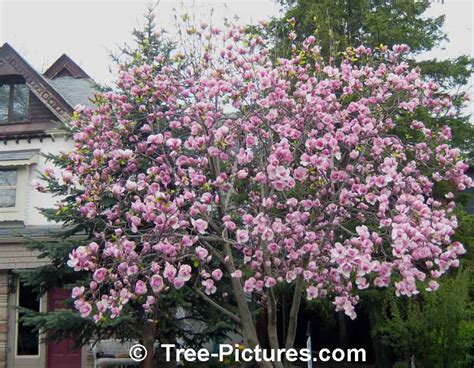 magnolias trees types types of magnolia tree with pictures facts about flowering magnolia trees