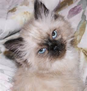 himalayan cat pictures himalayan cat breed cats types