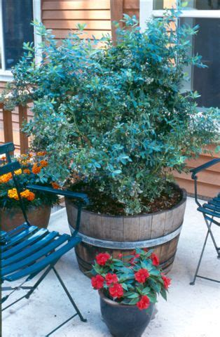 growing blueberry plants in pots blueberry bushes sunnysidelocal produce and nursery