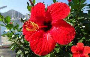 Taille De L Hibiscus : hibiscus ou althea hibiscus syriacus plante taille ~ Melissatoandfro.com Idées de Décoration