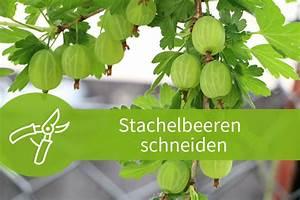 Hochstamm Stachelbeeren Schneiden : obstgeh lze archive pflanzen schneiden ~ Lizthompson.info Haus und Dekorationen
