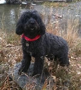 portuguesewaterdog