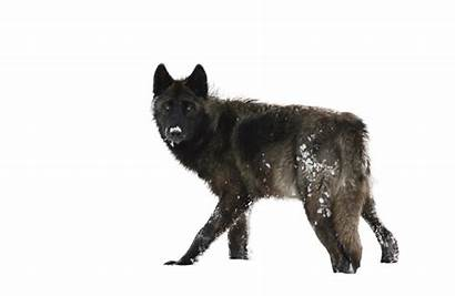 Wolf Transparent Logos Running Pluspng Quotes Additon