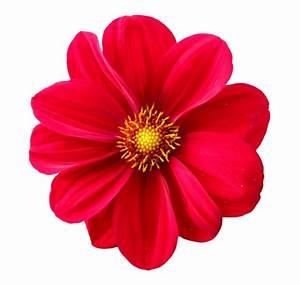 Dahlia Flower PNG Transparent Image - PngPix