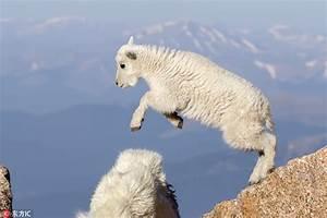 丝毫不恐高!小羊羔海拔4000米山上自由跳跃--图片频道--人民网
