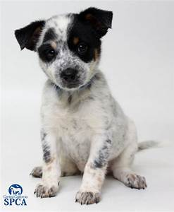 Black And White Cattle Dog Puppy