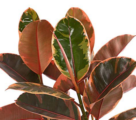 Gummibaum  Ficus 'belize' Dehner