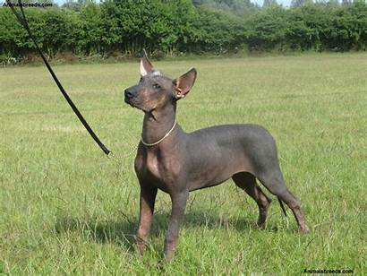 Hairless Mexican Dog Xoloitzcuintli Miniature Dogs Breeds