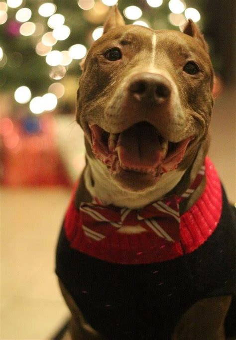 pitbull sweaters 17 best images about stylish pets on gentleman