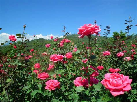 adolescence education artikel tentang budidaya tanaman mawar