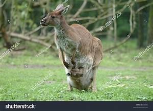 Red Kangaroo With Joey Stock Photo 54590 : Shutterstock