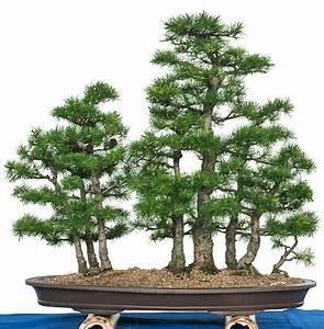 larchenwald als bonsai garten bonsai in schale With garten planen mit pinus bonsai kaufen