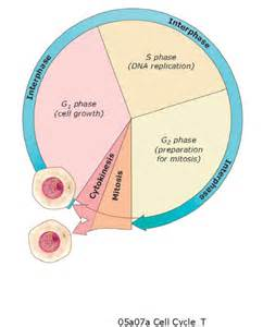 9th Grade Biology Cell Cycle