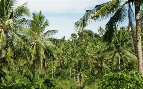 Coconut Tree Wallpapers