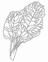 Coloring Drawing Vegetables Vegetable Pages Green Chard Print Kale Leafy Template Templates Popular Sketch Getdrawings Coloringhome sketch template