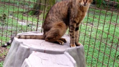 savannah cat cats bengal pets rescue bad exotic giant pet breeding bigcatrescue hybrid breed dogs breeds animal tall savannahs why