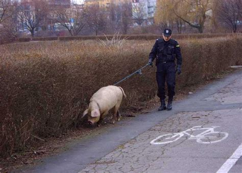 das polizeischwein