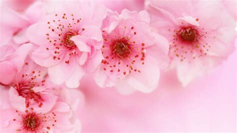 Hd to 4k quality, all ready for download! Pink Cherry Blossom HD Wallpaper - backiee - Free Ultra HD wallpaper platform