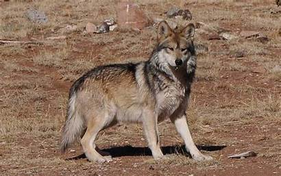 Wolf Mexican Gray Animal Serbia National Wolves