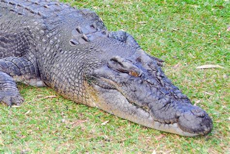 Australia Zoo Saltwater Crocodile