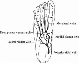 Schematic Diagram Of The Foot Showing The Lateral Plantar