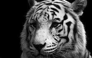 Wallpaper Animal White Tiger - Cool PC Wallpapers