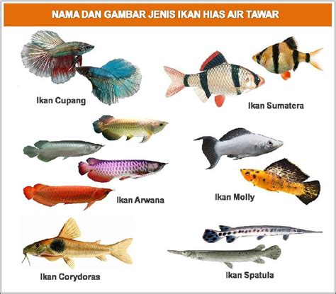19 Jenis Ikan Hias nama nama ikan hias air tawar air laut air payau