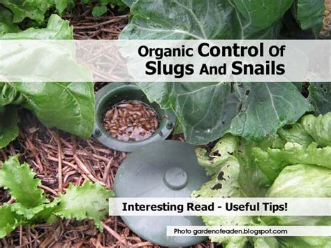 how to get rid of slugs organic control of slugs and snails
