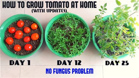 how to grow tomato at home how to grow tomato at home easiest method ever with updates youtube