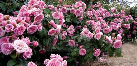 shrub roses gardenarium generosa modern shrub roses from france