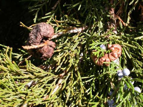 rust cedar apple juniper arborvitae galls pests juniperus diseases hawthorn gardening junipers problems leaf tips spruce garden